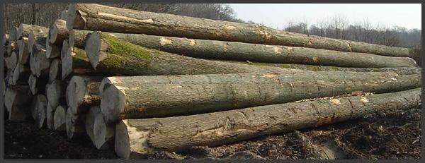 Timber wood romania - Romanian cherry tree varieties ...